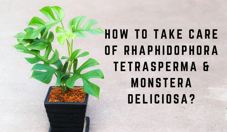 How to take care of Rhaphidophora tetrasperma & Monstera deliciosa?