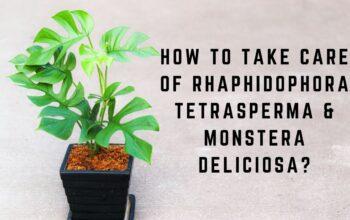 How to take care of Rhaphidophora tetrasperma & Monstera deliciosa