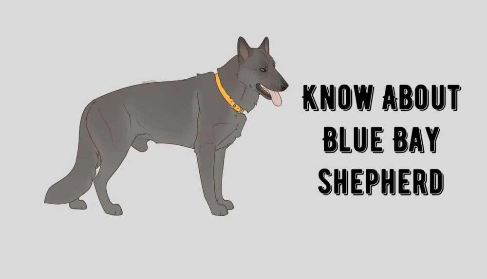 American blue bay shepherd